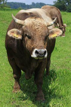 Rinder : Charolais Beef Cattle, Animals Of The World, Livestock, Farm Life, Animal Photography, Farming, Switzerland, Cute Animals, Inspiration