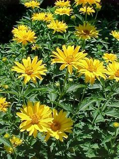 Low-maintenance Perennials (MO) –     Heliopsis helianthoides var. scabra 'Sommersonne' SUMMER SUN  ox eye  Herbaceous perennial    A plant with great sidewalk appeal. May need staking.