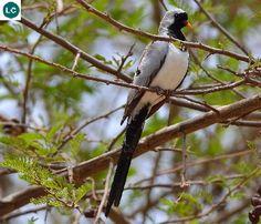 https://www.facebook.com/WonderBirds-171150349611448/ Bồ câu Namaqua; Họ Bồ câu-Columbidae; Hạ Sahara châu Phi, Madagascar và bán đảo Ả Rập || Namaqua dove (Oena capensis); IUCN Red List of Threatened Species 3.1 : Least Concern (LC)(Loài ít quan tâm). Namaqua là tên nhóm thổ dân châu Phi sống rải rác tại Nam Phi, Namibia và Botswana