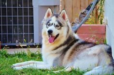 This is Thunder my handsome Wooly Siberian Husky.