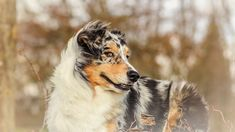 Pies, Owczarek australijski