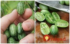 How To Grow Cucamelons Garden Toys, Lawn And Garden, Home And Garden, Fruit Garden, Garden Plants, Growing Microgreens, Outdoor Flowers, Grow Your Own Food, Organic Vegetables