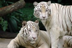 Albino Caspian tigers, sadly extinct since 1970