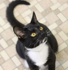 Adoptable cat of the week  Cat ready for adoption: Domestic Short Hair (short coat) named Sebastian in Rockville, MD