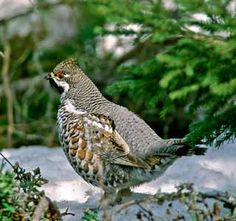 Pyy, Tetrastes bonasia - Linnut - LuontoPortti Grouse, Game Birds, Blue Heron, Quail, Bird Houses, Finland, Animals And Pets, Scenery, Wildlife