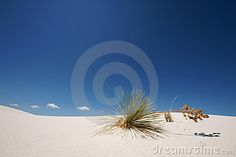 Plant on a sand dune in white sands national monument New Mexico