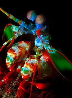 Mantis shrimp. These creatures have a punch so quick that it boils the water in front of their claw, up to speeds similar to a .22 calibur bullet so that when it gets to the the prey, it hits them with a force great enough to stun or kill them.