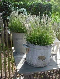 lavender in buckets. I like this idea, where can I get some old buckets? Garden Planters, Lavender Planters, Potted Lavender, Herb Garden, Vegetable Garden, Lavender Garden, Garden Landscaping, Planting Flowers, Metal Buckets