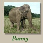 Bunny lived at the Elephant Sanctuary in Tennessee,  Bunny was sent to the santuary after many many years in the Mesker Park Zoo, Evansville In,  RIP Bunny, so happy she spent her last days with other elephants and was free to roam on acres and acres of land.