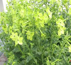 Bulk Nicotiana Seeds Perfume Lime pelleted seeds 1,000