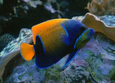 The Majestic Angelfish