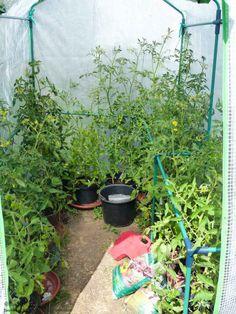 Meine Tomaten wachsen