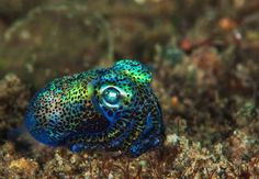 This bobtail squid really knows how to GLOW. ✨ Bobtail squid have a symbiotic relationship with bioluminescent bacteria, which inhabit a… Underwater Creatures, Ocean Creatures, Beautiful Creatures, Animals Beautiful, Unusual Animals, Beautiful Ocean, Bioluminescent Animals, Octopus Art, Octopus Squid