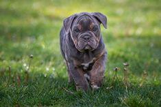 Https Www Facebook Com I Love Bulldogs86 101420487919502 Dogs