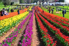 Details about Tasselaar Tulip Festival and KaBloom Festival in Silvan. Find details like history, location, dates and how to reach there Daffodils, Tulips, Melbourne Attractions, Tulip Festival, Melbourne Cbd, Historic Houses, Flower Farm, Roman Catholic, Petunias