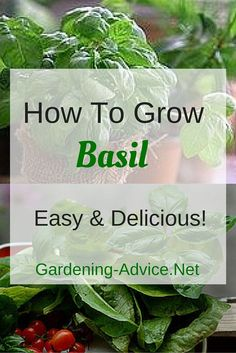 Helpful tips that will make Growing Basil Plants child's play! Plant care tips for  growing this delicious summer herb indoors and outside.