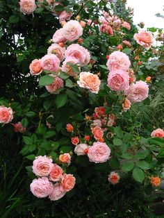 'A Shropshire Lad' - a fragrant English rose covered in buds and apricot rosette shaped flowers.