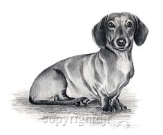 Picture of a dachsund | Dachshund Dog II Pencil Drawing 8 x 10 Art Print Signed DJ Rogers ...