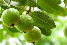 Guava Tree Fertilizer: How To Feed A Guava Tree There is always a bit of a challenge in determining a plant's fertilizer requirements because variables such as frequency and quantity, for instance, can change over the course of the plant's lifetime. Such is the case with guava trees. Click this article to learn more.