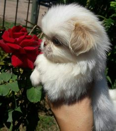 "Find out additional information on ""shih tzu puppies"". Look into our internet site. Cute Baby Animals, Animals And Pets, Funny Animals, Cute Puppies, Dogs And Puppies, Pekingese Puppies, Shih Tzu Dog, Shih Tzus, Fu Dog"