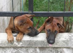 Thai Ridgeback Dog Doggies, Dogs And Puppies, Jun Jun, Thai Ridgeback, Rhodesian Ridgeback, Trd, Pet Stuff, Country Of Origin, Best Dogs