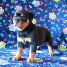 Boris Rottweiler Puppy Rottweiler Puppies Rottweiler Puppies For Sale Rottweiler