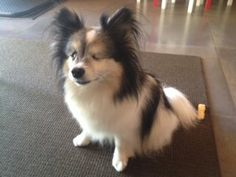 LOS ANGELES, CA - LOST DOG: Pet Name: Chewie  Gender: Male Breed: Chihuahua Breed 2: Papillon Color: White Color 2: Black Pet Size: Small (10-19lbs) Pet Age: 10 Date Lost: 05/25/2014 Zip Code: 90077 (LOS ANGELES, CA) See All Lost Dogs In LOS ANGELES, CA Cross-post from Losgmydoggie. Please contact poster: http://www.lostmydoggie.com/details.cfm?petid=56983