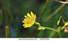 The Fierce Yellow Lion in Bloom