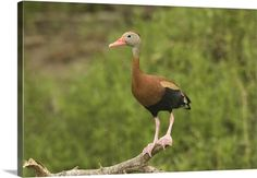 Black-bellied Whistling Duck, Rio Grande Valley, Texas
