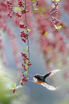 黃鴝舞簾 by John on Flickr.