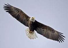pictures of eagle flying | Adult Bald Eagle Flying In A Winter Sky Photo By Tom Michalski Animal
