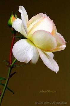 /Uma rosa e um beijo eu te tenho para dar!!!!!!!!!!