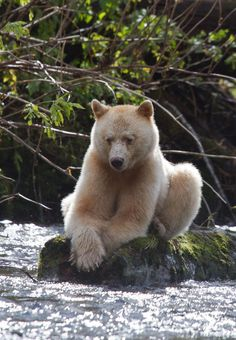 """Read """"Touching Spirit Bear"""" by Ben Mikaelson.The Kermode Bear also known as the """"spirit bear"""" ~ is a subspecies of the Black Bear living in the Central and North Coast of British Columbia, Canada Spirit Bear, Spirit Animal, Beautiful Creatures, Animals Beautiful, Animals And Pets, Cute Animals, Love Bear, Tier Fotos, Mundo Animal"""