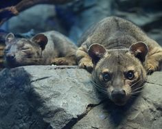 What is the name of this critter? Fossa (by Leopard Cat, Snow Leopard, Amazing Animal Pictures, Critters 3, Cincinnati Zoo, Ocelot, Cheetahs, Leopards
