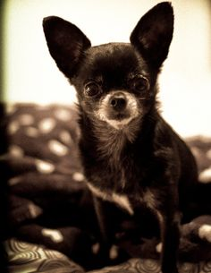 Anil Kapoor Chihuahua look-alike by hupo bean, Flickr