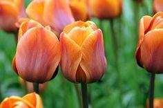Tulip varieties for an abundant garden - The Washington Post Cairo Tulip
