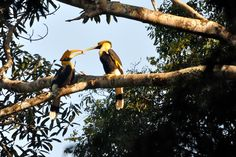 A Hornbill couple spends their courting period singing songs to each other. Once the female lays her eggs, she remains in the nest for two months, as the male gathers food and brings it to her. Such devotion