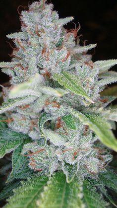 Marijuana Plants   Medical Marijuana Quality Matters- Repined-5280mosli.com -Organic Cannabis College- Top Shelf Marijuana-   #OrganicCannabis
