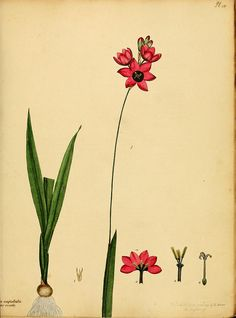 The botanist's repository, for new, and rare plants :. London :Printed by T. Bensley, and published by the author ... :1797-[1815].