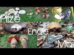 Pilze Ende Mai 2020  -  mushrooms in May  -  Hongos de mayo  -  funghi a...