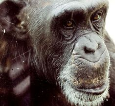 this chimpanzee was photographed through the glass of her temporary enclosure at the Philadelphia zoo while she was waiting for the Great Ape Trail to open What Is A Jungle, Lions Live, Extreme Close Up, Forest Illustration, Network For Good, Baboon, Animal Facts, African Elephant, Jungle Animals