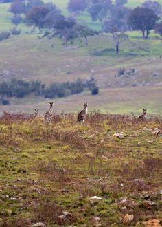 Quintessential Canberra: kangaroos everywhere!
