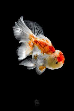 Goldfish Species, Oranda Goldfish, Turtle Aquarium, Aquarium Fish, Goldfish Wallpaper, Black Goldfish, Cool Tech Gifts, Golden Fish, Colorful Fish
