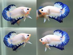 Types of Betta Fish - There are lots of different types of betta fish and this article covers them in detail including breeds, patterns, colors, tail differentiation and more. #TypesofBettaFish #PLAKATBETTAFISH
