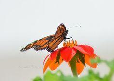 Fine Art Photography Orange Monarch Butterfly 7x10 Botanical Gargen on Etsy, $29.00