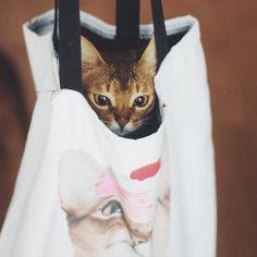 月曜夜8時は週刊NyasPaper。世界中の猫の飼い主さんから寄せられた、おもしろい、かわいい、癒やしの猫画像、猫写真を紹介します。今週のグラビア猫はアビシニアンのCheeseとOlive。