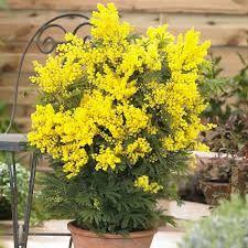 Image result for acacia mimosa