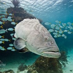 Underwater Photo - Grouper, Hol Chan Marine Reserve, Belize by Tony Rath