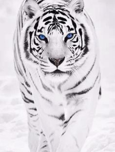 BLUE EYES ASIAN WHITE TIGER ANIMAL CANVAS WALL ART PRINT PICTURE READY TO HANG