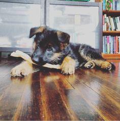 GSD Puppy-Zena